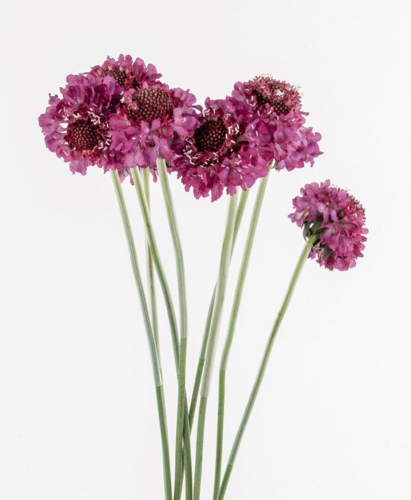 Scabiosa Scoop Marshmallow
