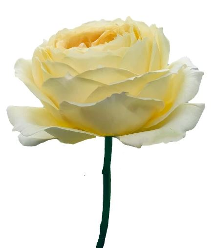 Rose Caramel Antike