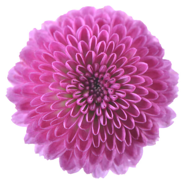 Chrysanthemum Calimero 3D