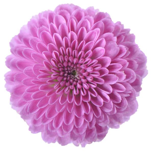 Chrysanthemum Calimero Classic 3D