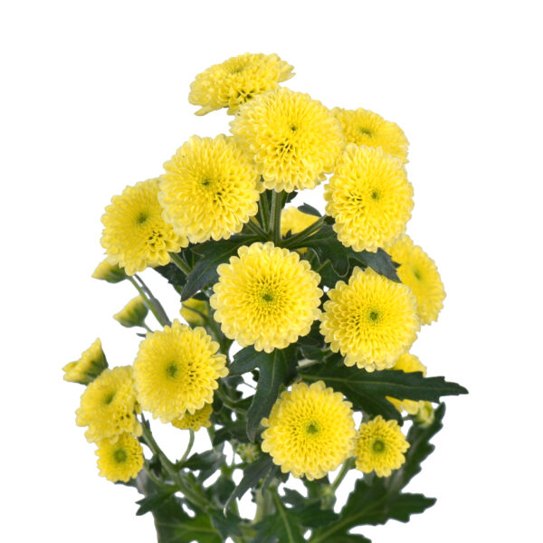 Chrysanthemum Calimero Cream