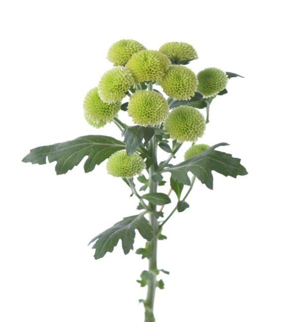 Chrysanthemum Calimero Minty