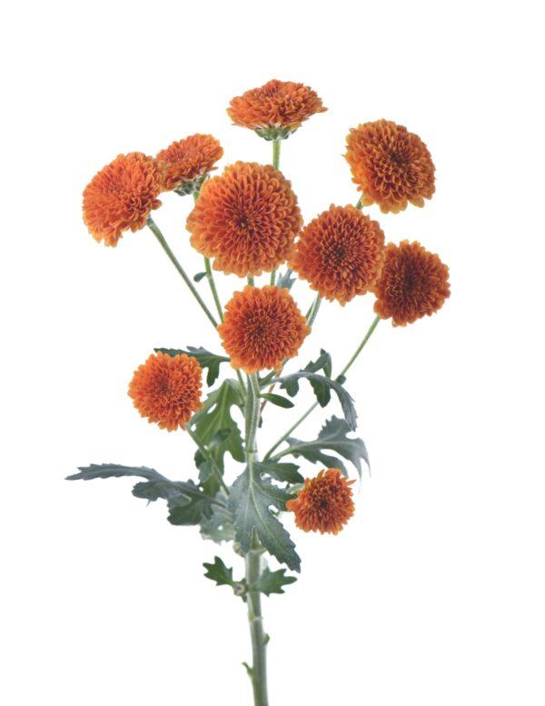 Chrysanthemum Calimero Orange