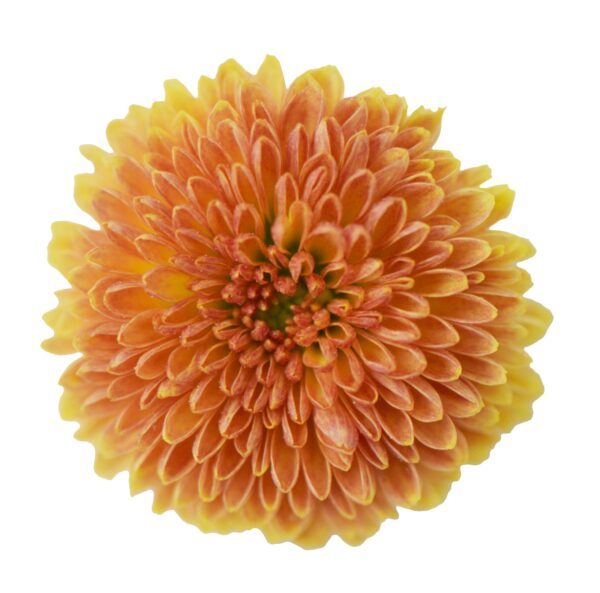 Chrysanthemum Calimero Orange 178
