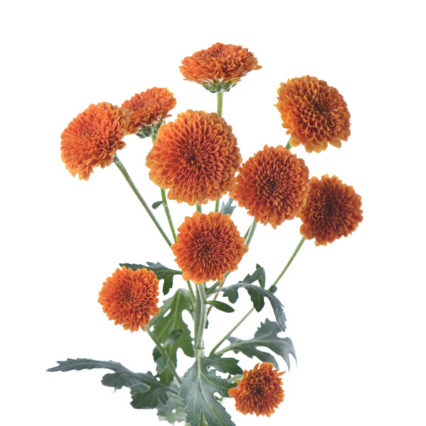 Chrysanthemum Calimero Orange