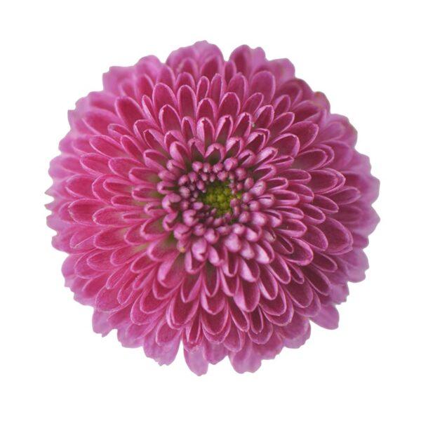 Chrysanthemum Calimero Purple