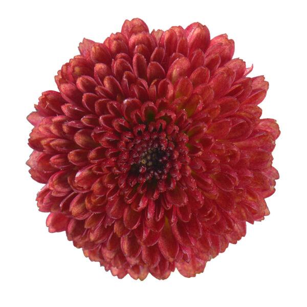 Chrysanthemum Calimero Red