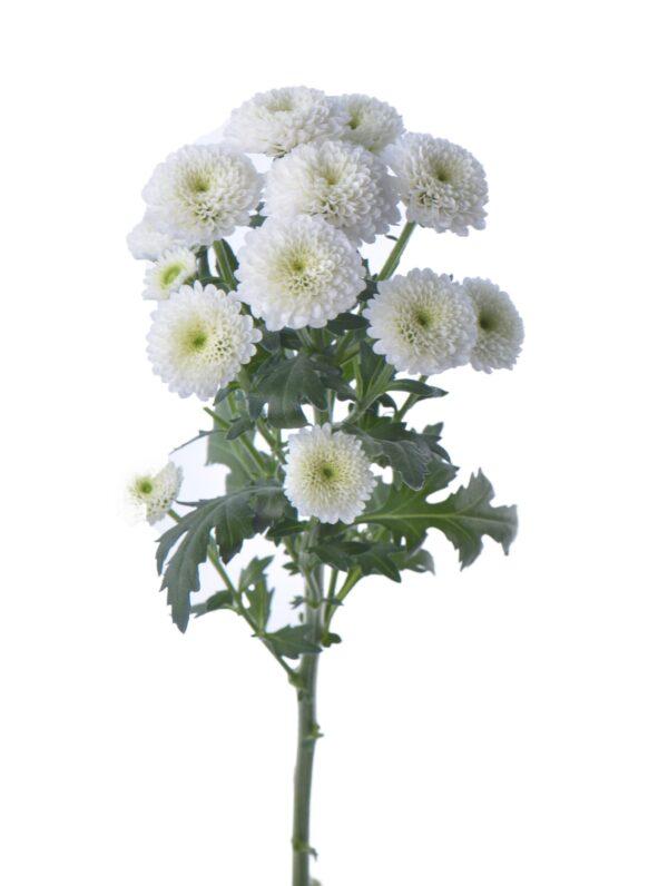 Chrysanthemum Calimero Snow