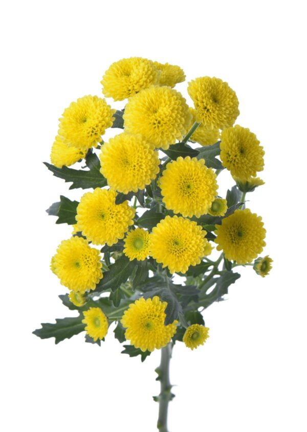 Chrysanthemum Calimero Summer