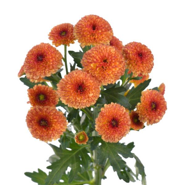 Chrysanthemum Calimero Sunrise