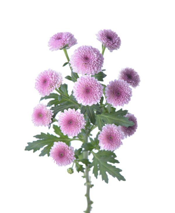 Chrysanthemum Classic 3D