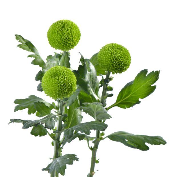 Chrysanthemum Ping Pong Feeling Green
