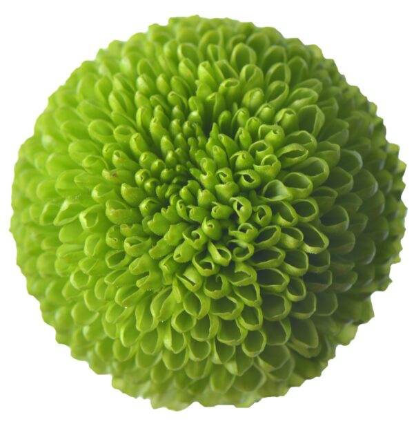 Chrysanthemum Ping Pong Feeling Green