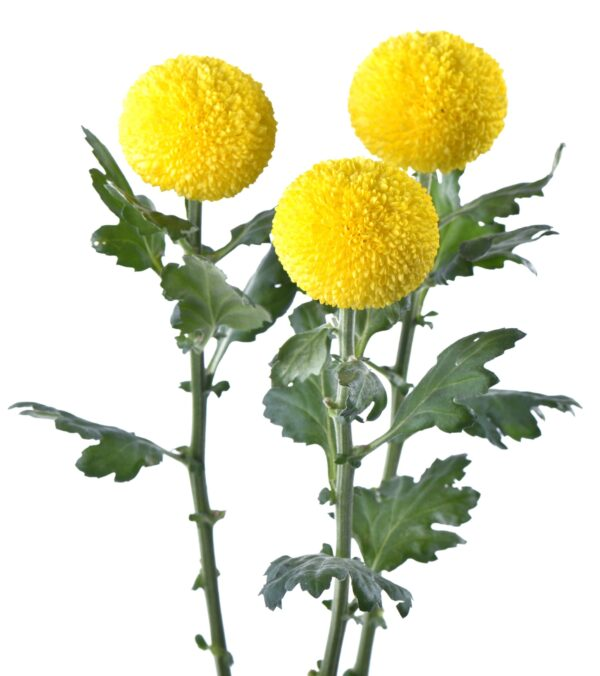 Chrysanthemum Ping Pong Golden