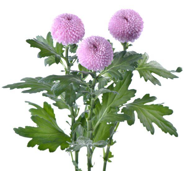 Chrysanthemum Ping Pong Momoko