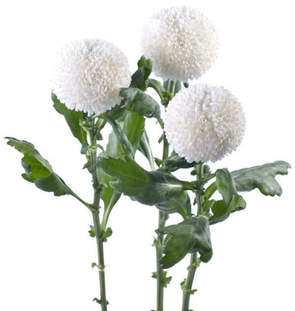 Chrysanthemum Ping Pong White