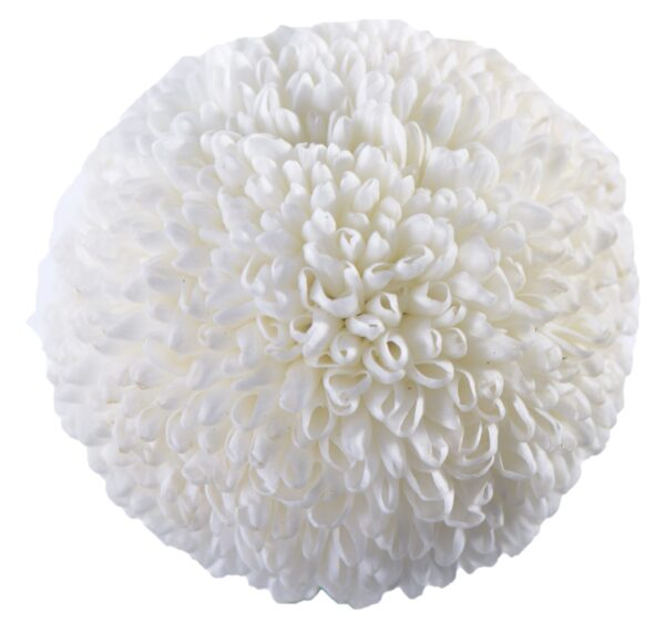 Chrysanthemum Ping Pong White