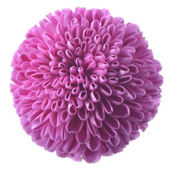 Chrysanthemum Ping Pong Zariah