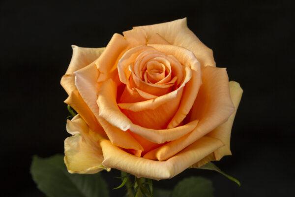 Rose Cinnamon
