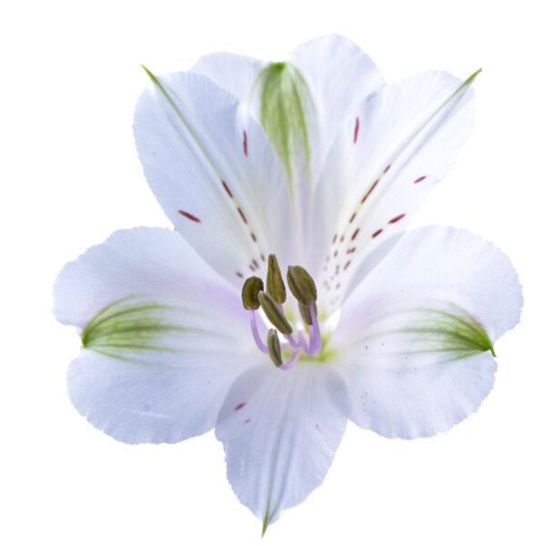 Alstroemeria Clear