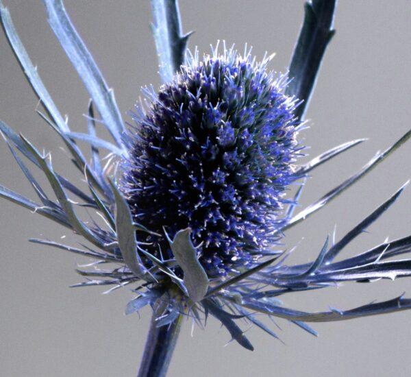 Eryngium Blue Dynamite