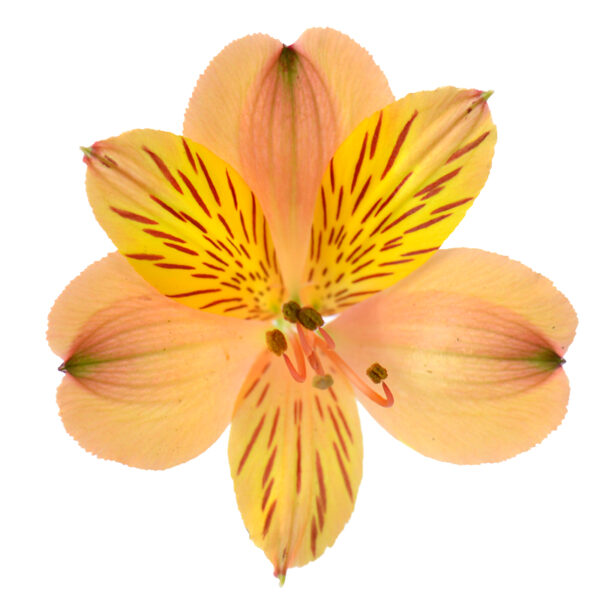 Alstroemeria Cocktail
