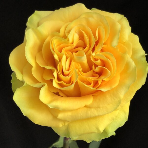 Rose Country Sun