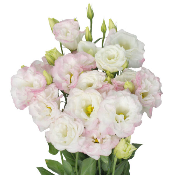 Lisianthus Diamond Peach