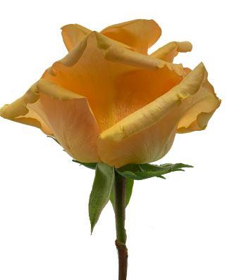 Rose Dream in Peach
