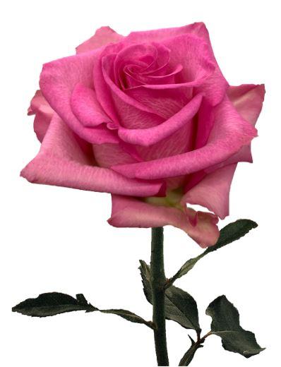 Rose Enjoy