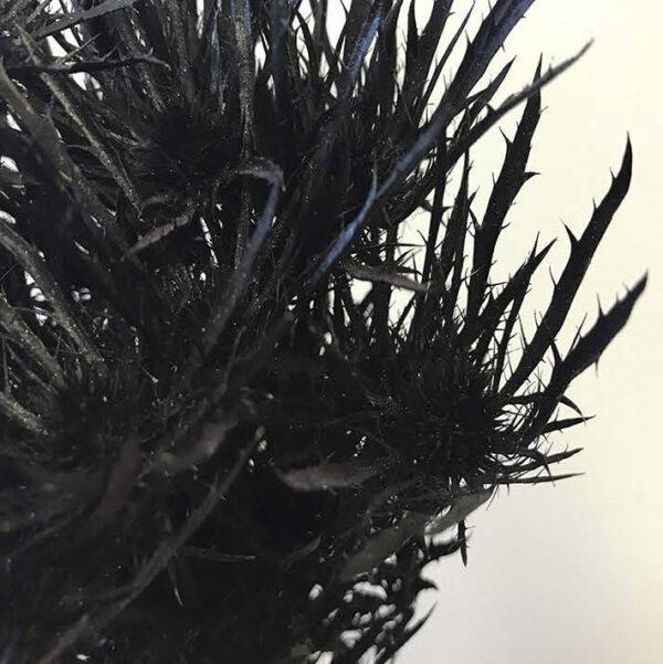 Eryngium Alpinum Tinted Black
