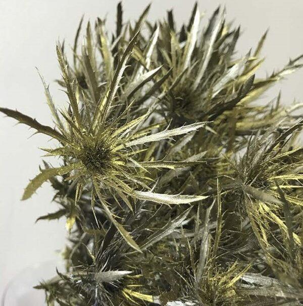 Eryngium Alpinum Tinted Gold