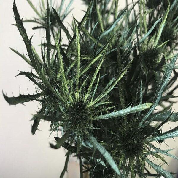 Eryngium Alpinum Tinted Green