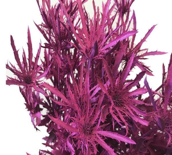 Eryngium Alpinum Tinted Hot Pink