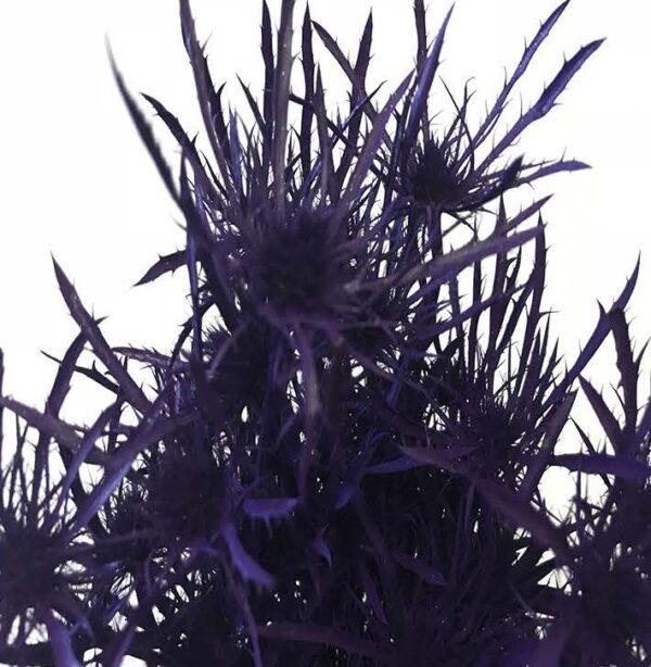 Eryngium Alpinum Tinted Purple