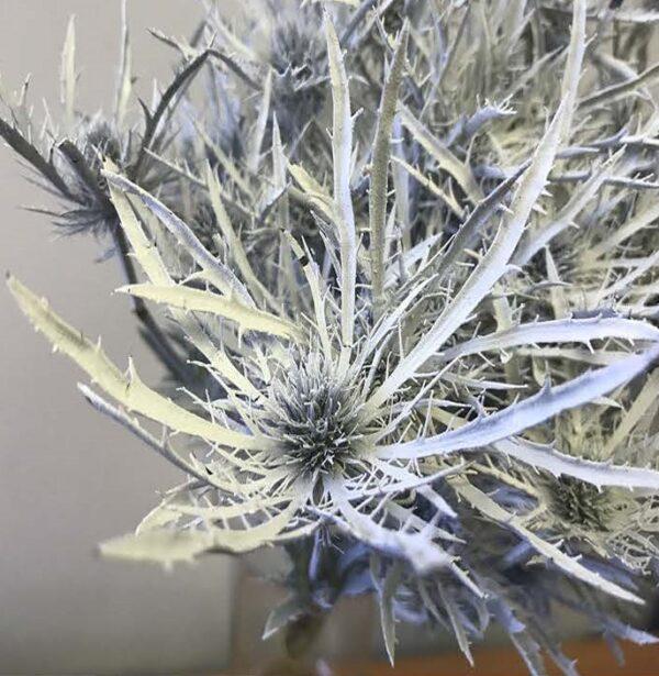 Eryngium Alpinum Tinted White