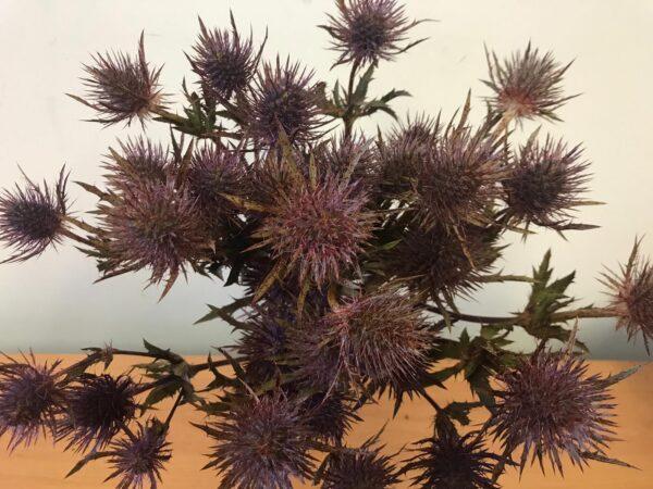 Eryngium Magical Anita (Kolmanita) Tinted Burgundy