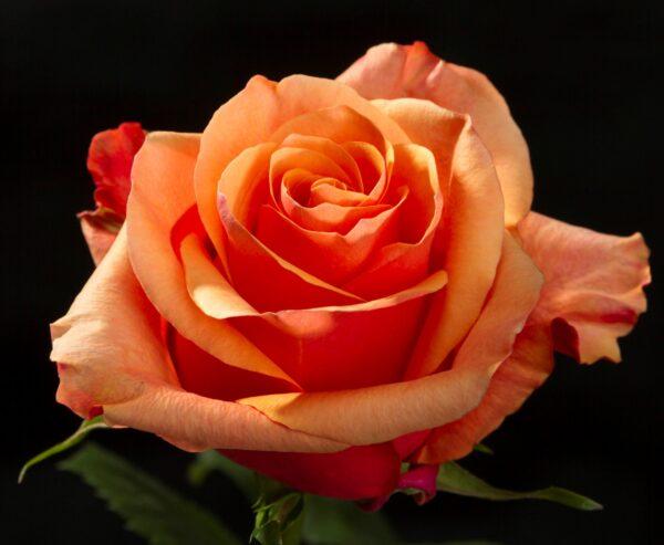 Rose Espana
