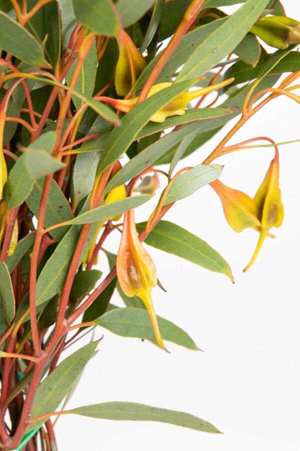 Eucalyptus Forrestiana