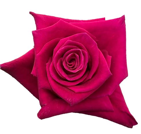 Rose Flash Baccara