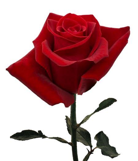 Rose Fortune
