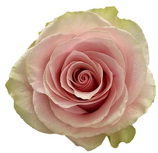 Rose Frutteto