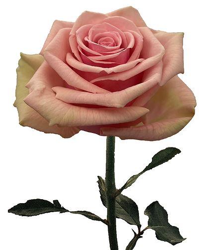 Rose Geraldine