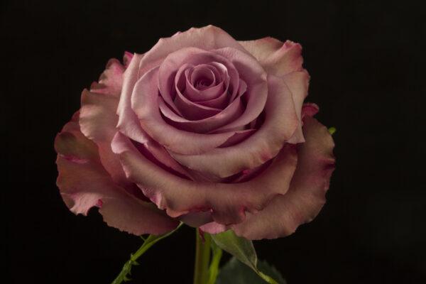 Rose Govinda