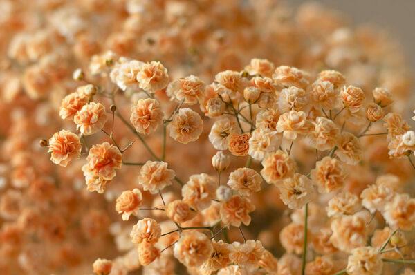 Gypsophila Xlence Tinted Orange