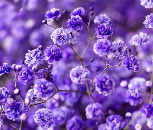 Gypsophila Xlence Tinted Purple