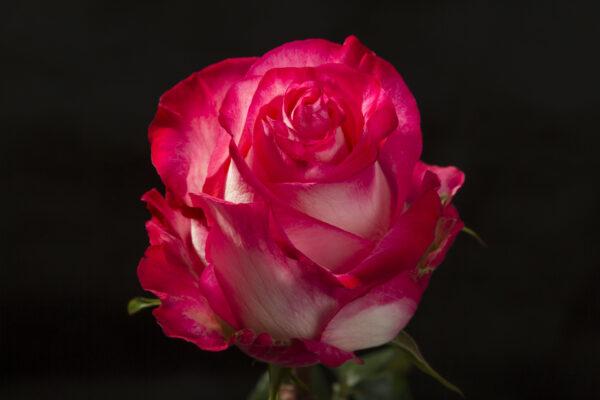 Rose High & Candy
