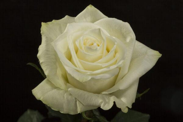 Rose Highlight