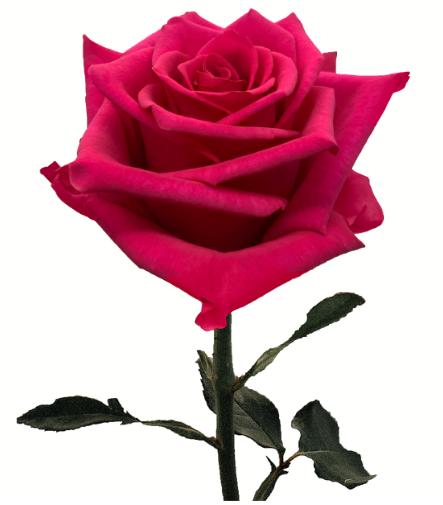 Rose Hot Explorer