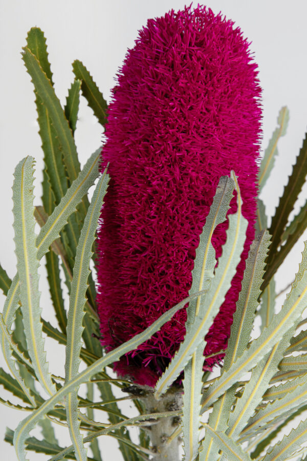 Banksia Attenuata Fluffy Tinted Hot Pink